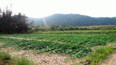 カボチャ畑1