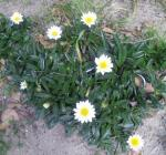 20100706香椎海岸の花白