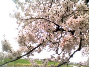 sakura2011-001s
