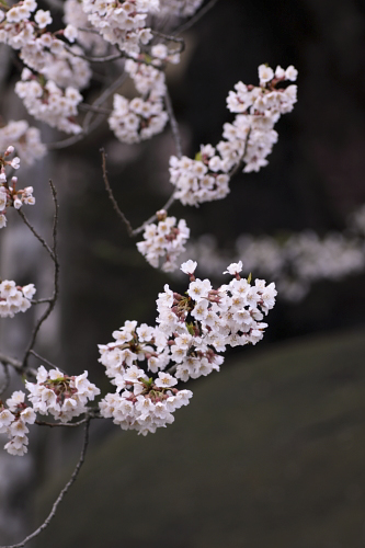 石割桜2010_①