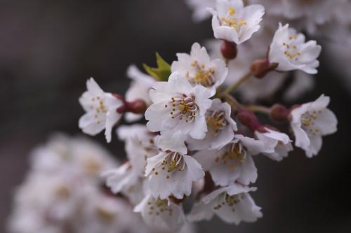 石割桜2010_②