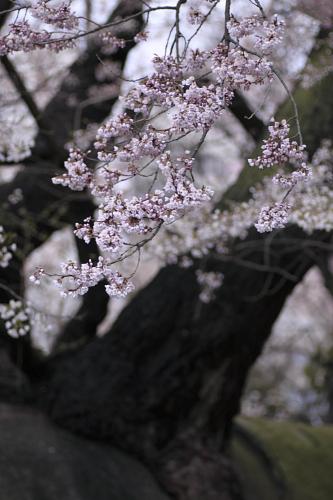 石割桜2010_④