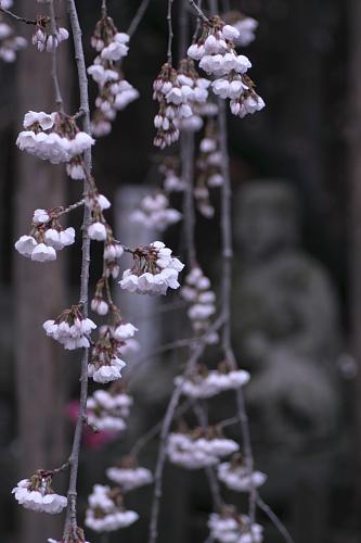 龍谷寺モリオカシダレ2010_②