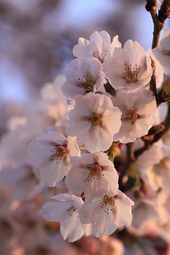 桜2010(紫波)①