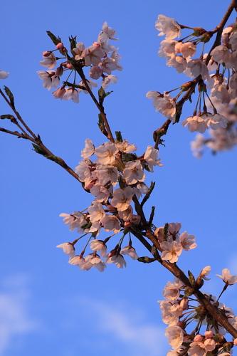 桜2010(紫波)②