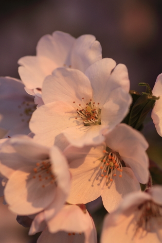 桜2010(紫波)③