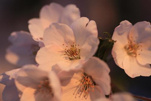 桜2010(紫波)④