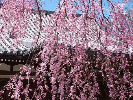 00P1110334待賢門院桜