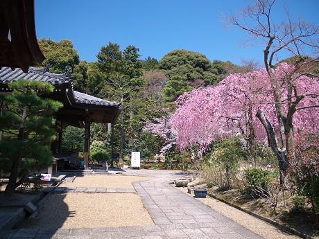 04P1110374待賢門院桜