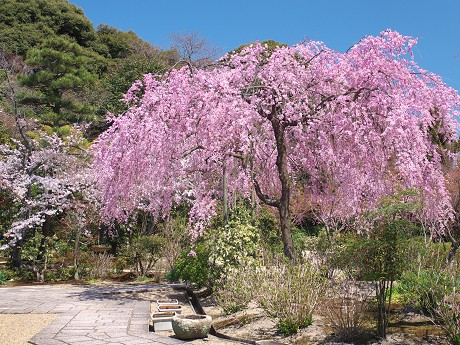 05P1110364待賢門院桜
