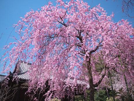 06P1110331待賢門院桜