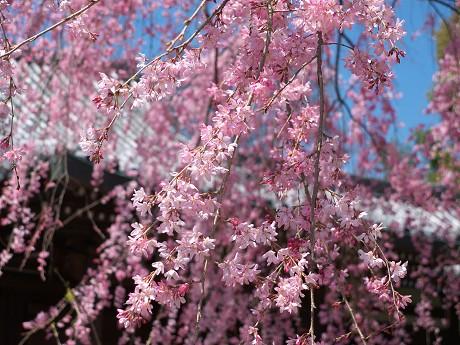 07P1110332待賢門院桜