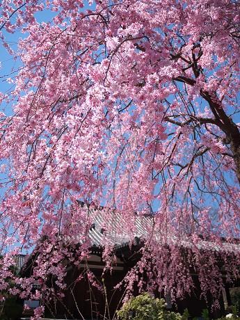 09P1110393待賢門院桜