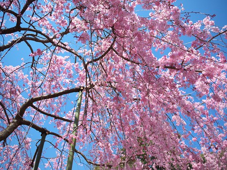 10P1110335待賢門院桜