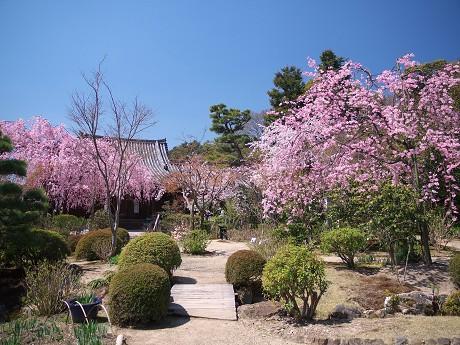 11P1110368待賢門院桜