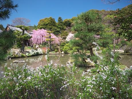 14P1110352雪柳と待賢門院桜