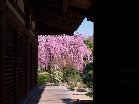 23P1110410待賢門院桜