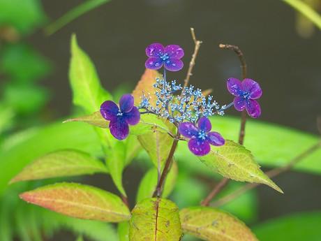 16P1140488紫紅梅