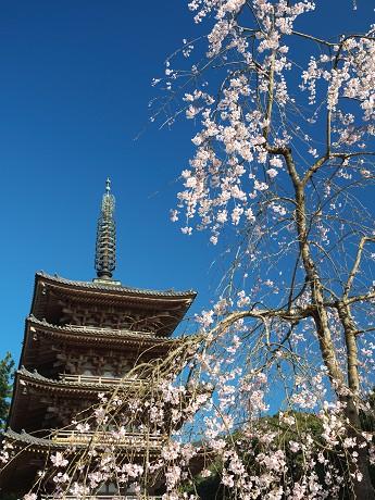 【五重塔と桜】