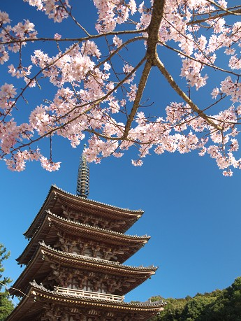【五重塔と桜2】