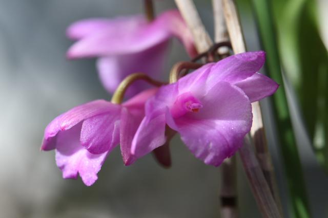 Dendrobium-インドネシア-sp-4
