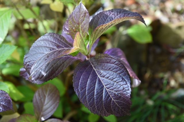 銅葉になったアジサイの葉-1