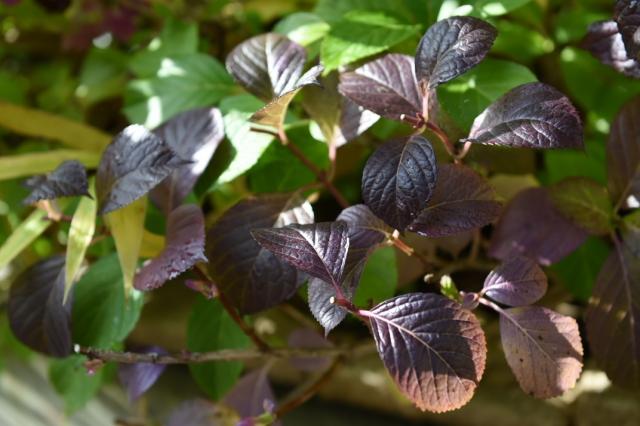 銅葉になったアジサイの葉-2