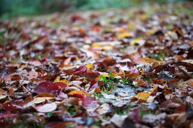 落ち葉の絨毯-2