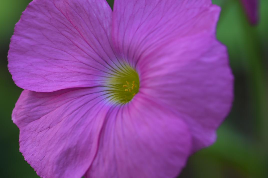 オキザリス・ボーウィー(Oxalis bowiei)-2