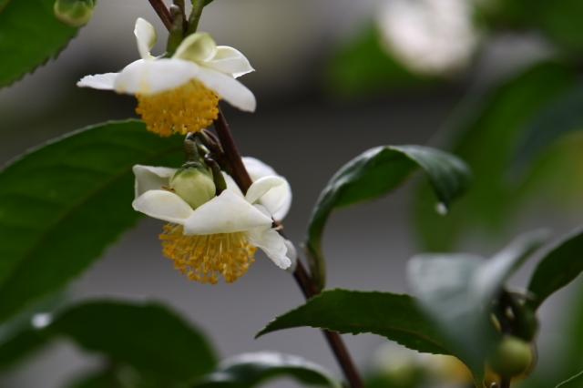 茶の花-2