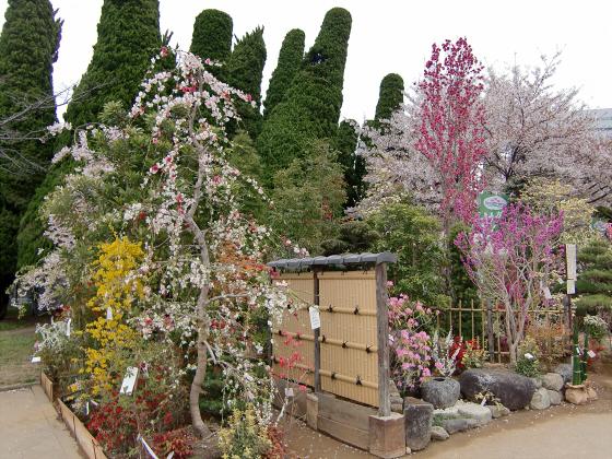 今更大阪城公園の桜2011-02