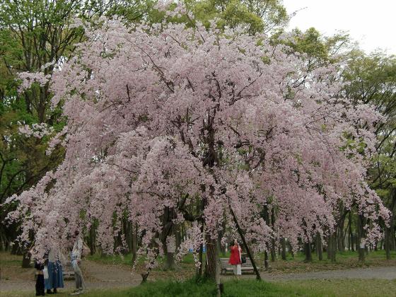 今更大阪城公園の桜2011-03