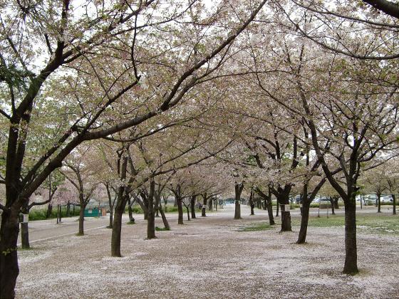 今更大阪城公園の桜2011-09