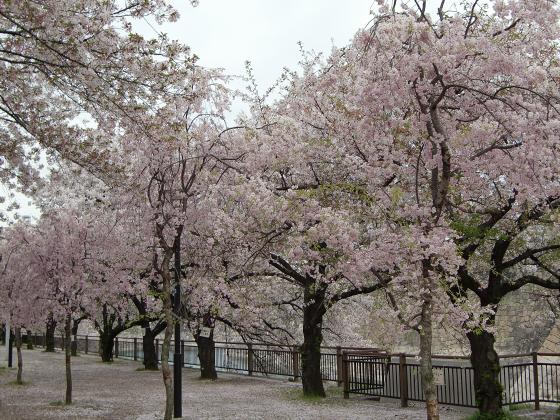 今更大阪城公園の桜2011-10