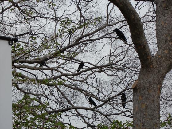 今更大阪城公園の桜2011-13