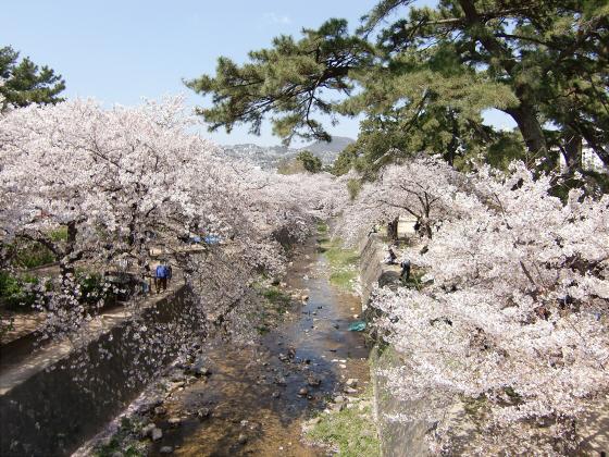 夙川公園の桜01