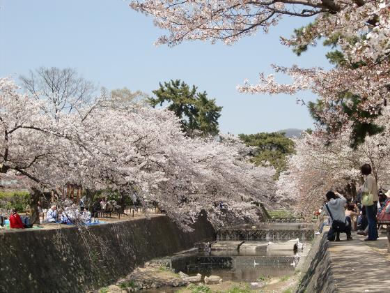 夙川公園の桜02