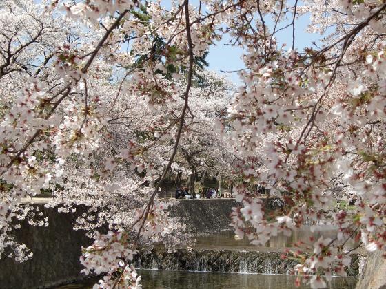夙川公園の桜03