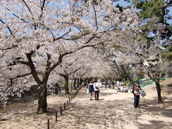 夙川公園の桜04