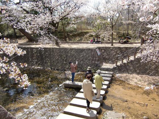 夙川公園の桜05