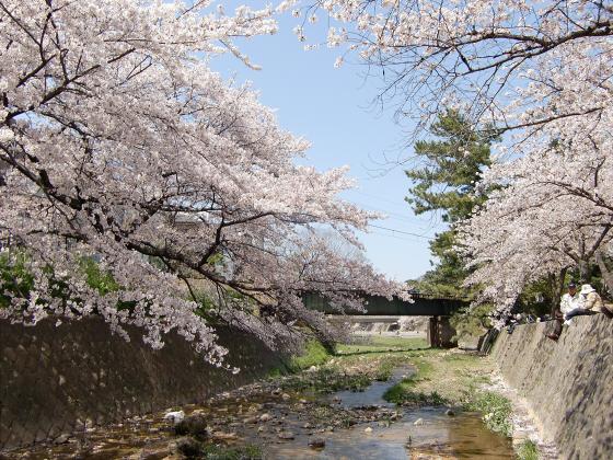 夙川公園の桜06
