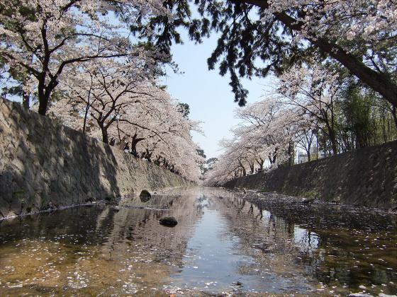 夙川公園の桜08