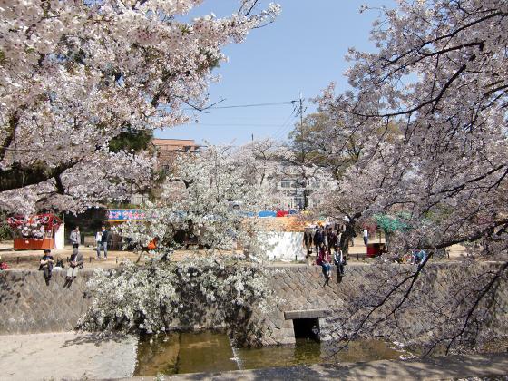 夙川公園の桜10