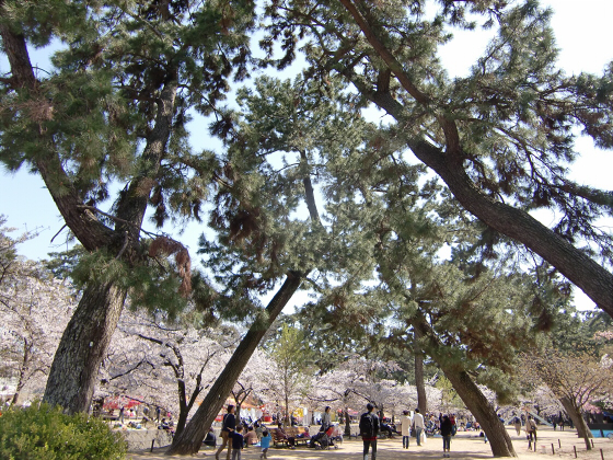 夙川公園の桜11