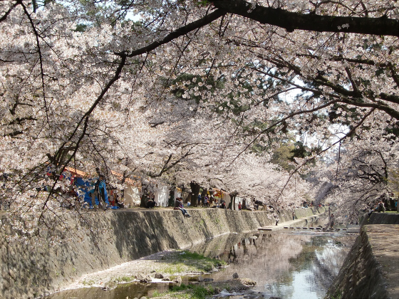 夙川公園の桜12