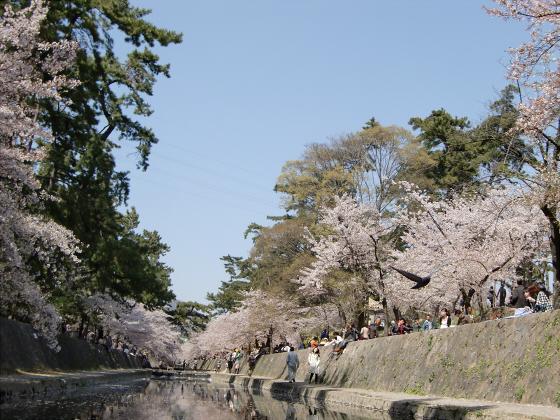 夙川公園の桜13