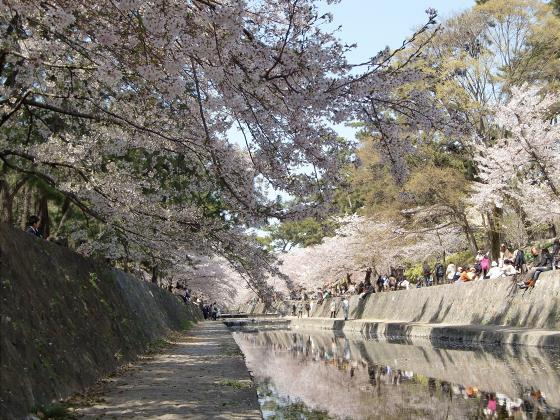 夙川公園の桜15