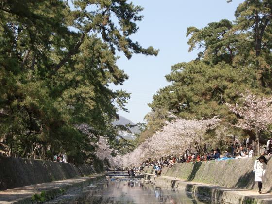 夙川公園の桜16