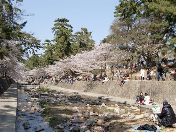 夙川公園の桜17
