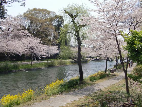 京阪中書島駅付近の桜02